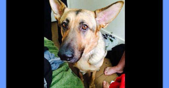 Cleaning Your German Shepherd's Ears -- GSD Photos, Information #german_shepherd_care #german_shepherd_news #german_shepherd_dog #German_shepherd #german_shepherds