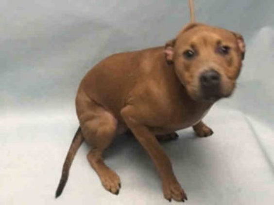 Brooklyn Center TAWNY – A1088863 SPAYED FEMALE, BROWN, AM PIT BULL TER MIX, 1 yr OWNER SUR – EVALUATE, NO HOLD Reason MOVE2PRIVA Intake condition EXAM REQ Intake Date 09/06/2016, From NY 11212, DueOut Date09/06/2016, I came in with Group/Litter #K16-073202
