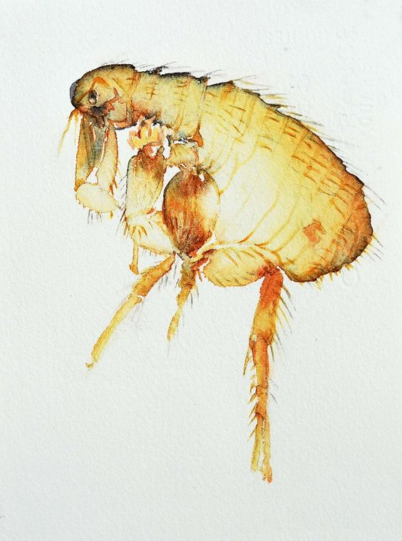 """Flea"" from ""Small Intruders:  A Watercolor Journey Through the Bug Kingdom"" by Carol Carter, 2013."