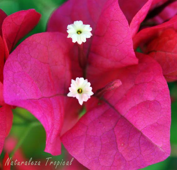 Flor de papel o santa rita bougainvillea sp arbusto - Arbustos para vallas ...