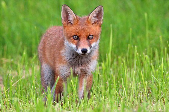 Junger Fuchs - Foto: Frank Derer