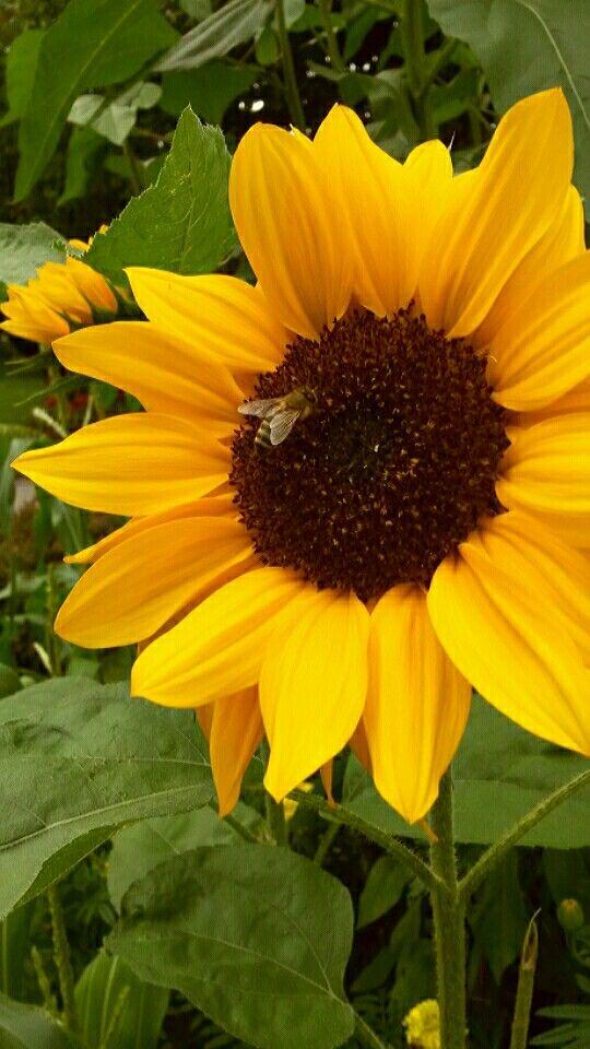 Fleißiges Bienchen bei der Arbeit in der Sonnenblume der Kaufmannschaft Kirchberg.