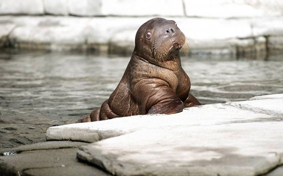 Germany's infant walrus bull Thor poses for photographs at Tierpark Hagenbeck Zoo in Hamburg, GermanyPicture: Imago / Barcroft Media