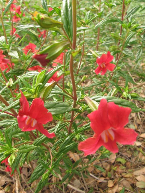 Sticky Monkey Flower (Mimulus aurantiacus) Grows best in full sun or partial shade, little water once established. Perennial often treated as an annual. USDA zones 9-11.  photo by Holly Guenther