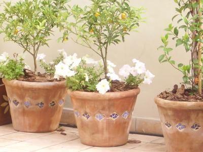 planta de kinotos en maceta - Buscar con Google