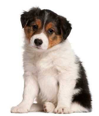 determining adult weight of a puppy
