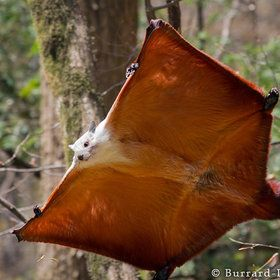 Giant Flying Squirrel !!    Qinling Mountains, China.  by Will Burrard-Lucas