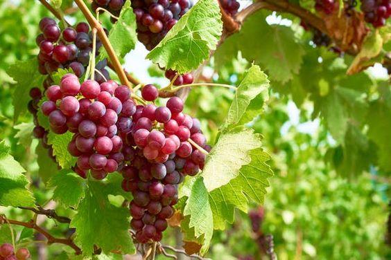 Menanam Anggur Merah Dengan Mudah dan Hasil Panen Melimpah