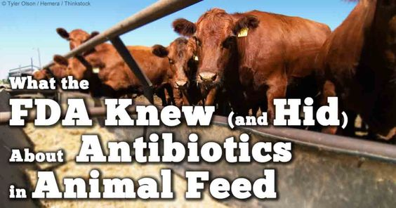 Unless you're eating organically raised meats, every single piece of meat you eat will give you a small dose of antibiotics, and this low-dosing is a major part of the problem, because when the bacteria are not killed by the antibiotic, they become stronger.