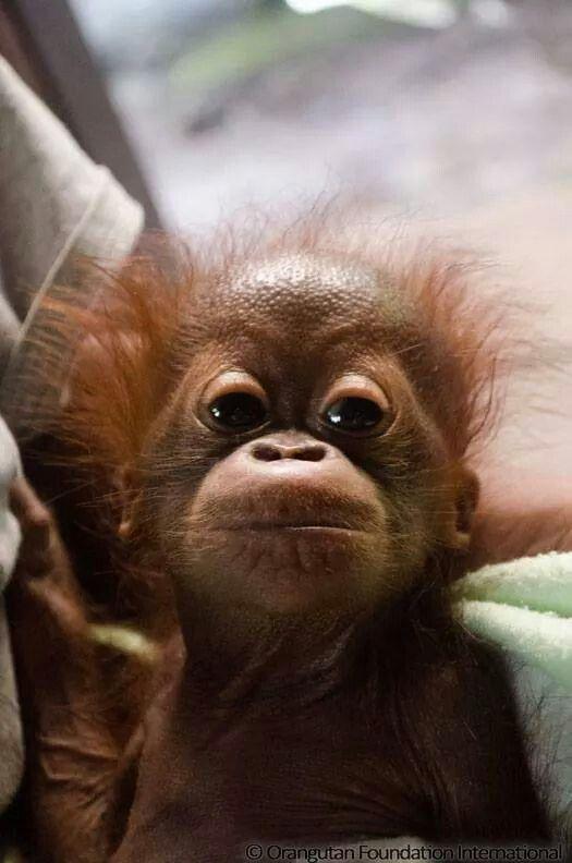 A rescued baby orangutan - photo © Orangutan Foundation International