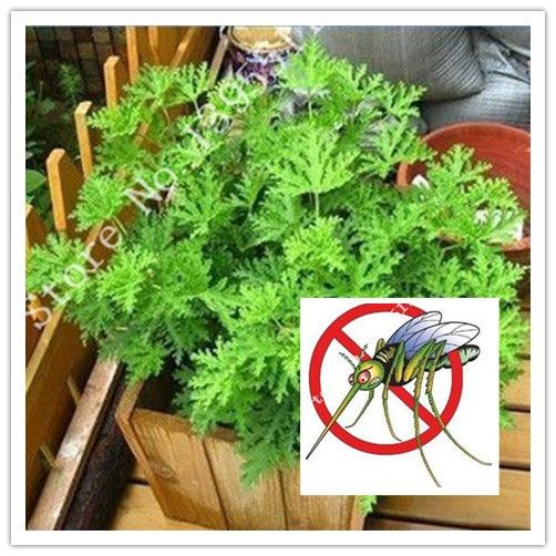 100pcs - Mosquito Repelling Grass Mozzie Buster Sweetgrass.Garden Home Bonsai Plant.Easy planting Indoor Plant