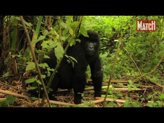 Gorilles dans la brume dans le parc des Virunga