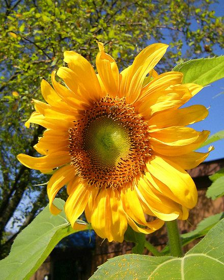 sunflower and her bee