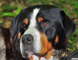 grande_boiadeiro_suico_raca_portal_dog (11)