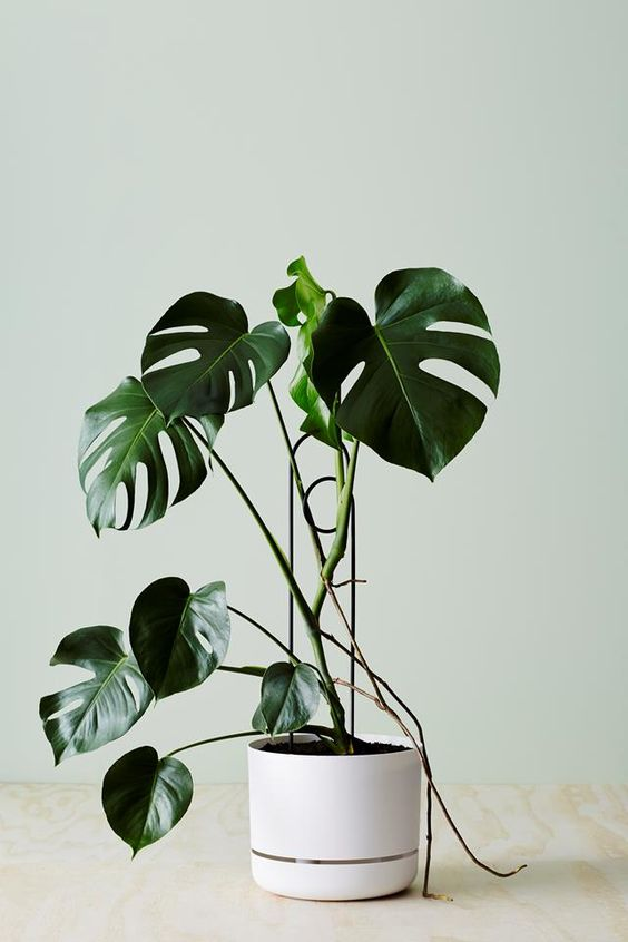 Searching for your next 'It-plant' of 2018? We had a plant expert round up the five most popular plants that will be making a splash this year, including the Monstera Deliciosa, and the Chain of Hearts.