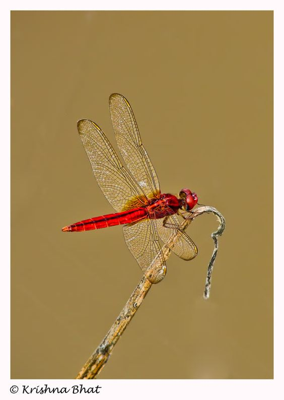 Indian dragonfly