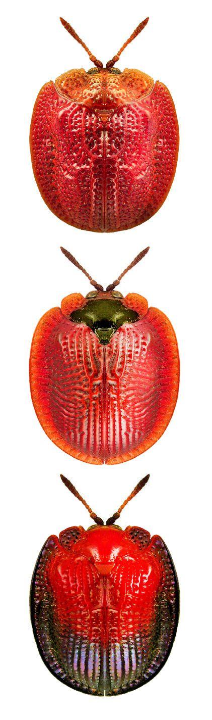 Spaethiella cyclica; Spaethiella transversata; Spaethiella pulchella....#hiphop #beats updated daily => http://www.beatzbylekz.ca.                                                                                                                                                      More