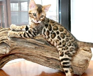 bengal cat, so cute! i want one. they make good pets! Look like a house cat, acts like a house cat, with leopard coloring.
