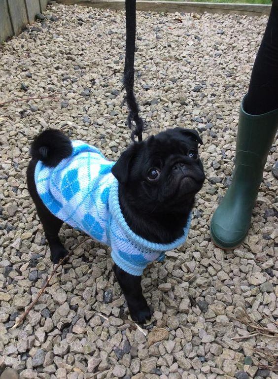 PUGS: Hamish the pug in his new jumper from www.iloveougs.co.uk