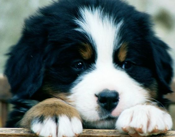 Bernese Mountain Dog: