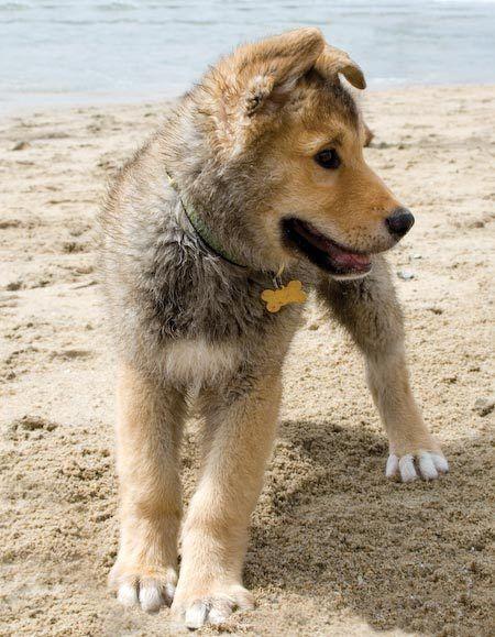 Golden/Huskey con su placa de hueso dorada.