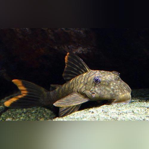 L 106 Orange Seam Pleco Pleco Fish Plecostomus Fish