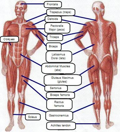 charts human body and anatomy on pinterest : muscle group diagram - findchart.co