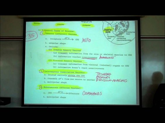 Organization of the Nervous System; the CNS & PNS by Professor Fink ...