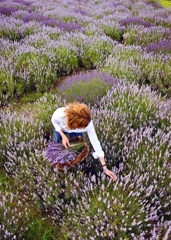 Lavender fields forever: