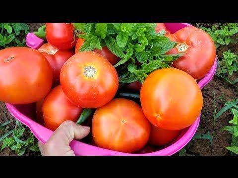 بدون ما تدفع ولا قرش طريقة جنونية لتحقيق الاكتفاء الذاتي من حديقة المنزل Growing Tomatoes Youtube Vegetables Tomato Food