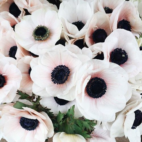 Anemones Black White And Nature Pretty Flowers Flowers Anemone Flower