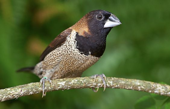 Black-faced Munia (Lonchura molucca) | Indonesia
