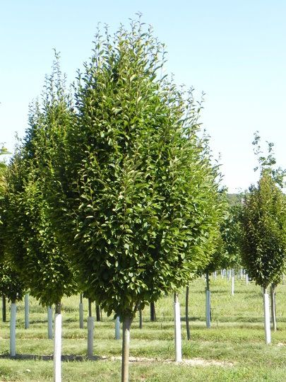 Narrow Backyard Trees : Frans Fontaine hornbeam The most narrow of the hornbeam species It