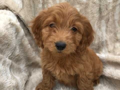Stunning Red Cockapoo Pups For Sale Ready Now Cockapoo Puppies