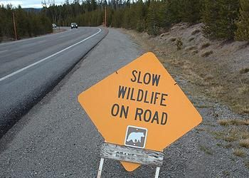Yellowstone has taken no steps to minimize road kill. The park has made road improvements which have led to higher vehicle speeds, such as widening roads and increasing the number of pull-outs for slower traffic. The park had no record of any study or planning on the issue, aside from reviews required under the Endangered Species Act.