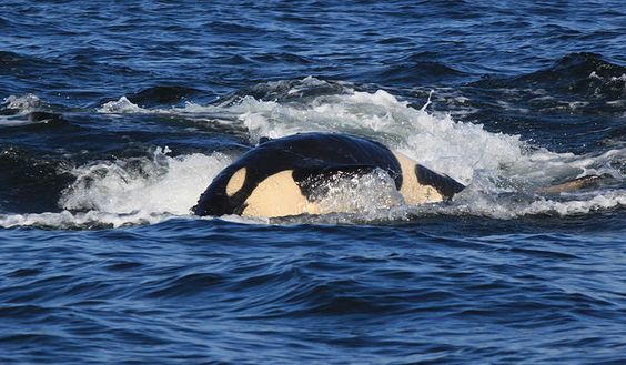 The always playful J50 Center for Whale Research 2015 Encounters