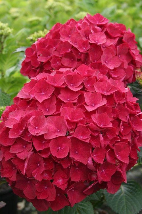 Buy Charm Red Hydrangea For Sale Online From Wilson Bros Gardens Hydrangea Flower Hydrangea Garden Hydrangea Seeds