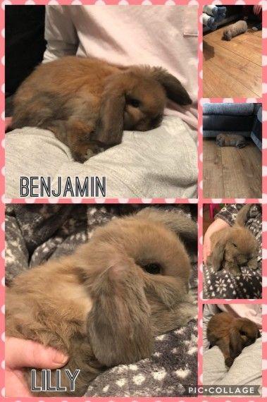 Baby Mini Lop Rabbits Mini Lop Rabbit Mini Lop Pet Breeds