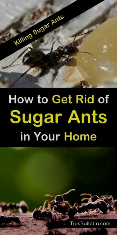 Pin By Zabarovskiy Potap On Clean Everything In 2020 Sugar Ants