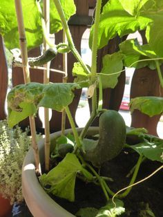 Gurken, einfach im #Topfgarten anbauen. Bei mir effektiver als im Garten ;-)