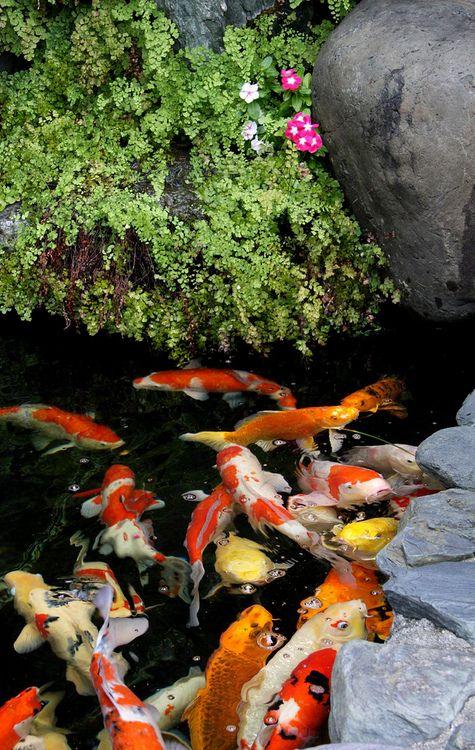 Clear pond for japanese koi koi ponds pinterest for Japanese pond fish