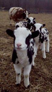 Jacob lambs and ewe.