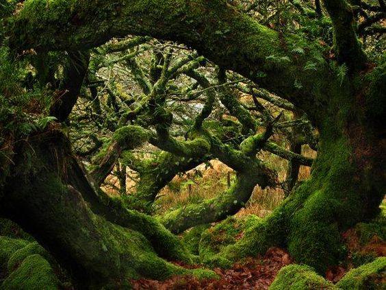Wistman s wood dartmoor devon england via old moss for Garden trees england