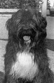 """In the 1930's, Vasco Bensaude, a Portuguese businessman with an interest in dogs, was introduced to the Portuguese Water Dog.He was told of a """"magnificent working Cão de Água"""", and although there were only a few dogs still working on the boats of the fishermen, he eventually acquired a dog named """"Leao"""". """"Leao"""" (1931-1942) was the founding sire of the modern breed and of which the original written breed standard was based. The first litter was born on May 1, 1937, at the Algarbiorum…"""