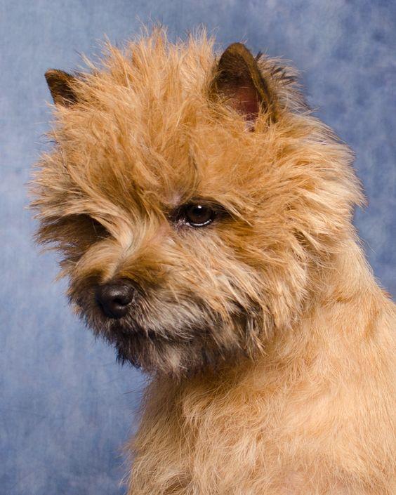 Gallery Cairn Terrier Club Of America Cairn Terrier Terrier