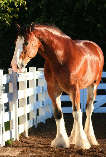 My absolute favorite breed of horse, the Clydesdale! My dream would be to own one.