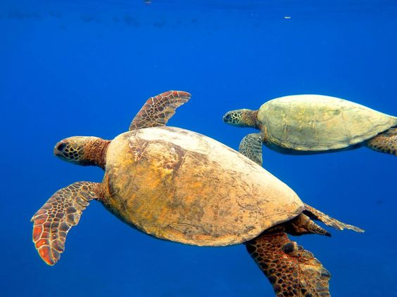 Duo of Honu | Hawaii Pictures of the Day