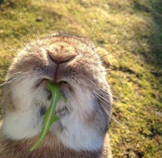 Konijnenvoer! Ik plukte deze 'konijnebladeren' (het blad van de paardebloem) altijd voor onze konijnen vroeger. Tegenwoordig moet ik hier weleens aan denken bij het eten van rucola of eikenbladsla... :-)