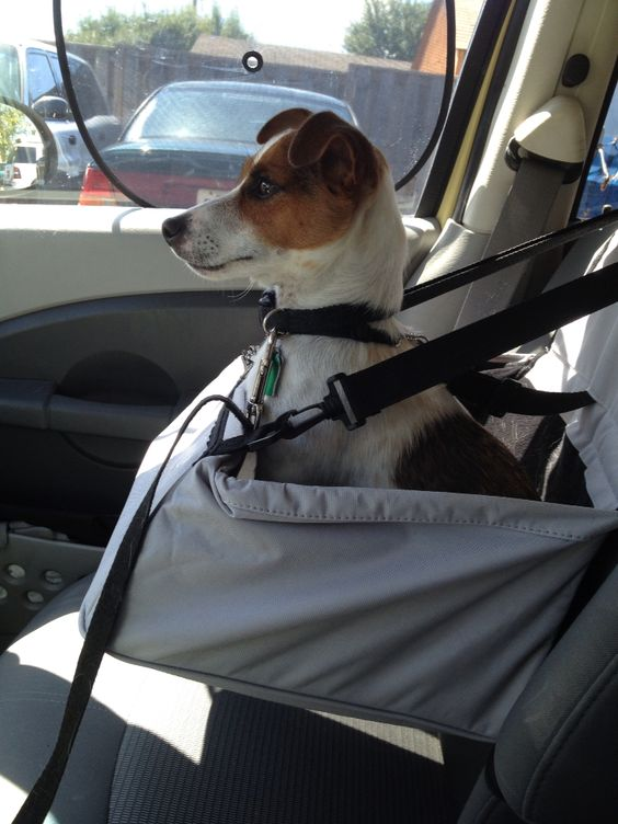 Roscoe checking out his new car seat.: