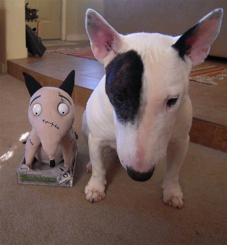Bully fan with Frankenweenie toy #English #Bull #Terrier #Dog ...
